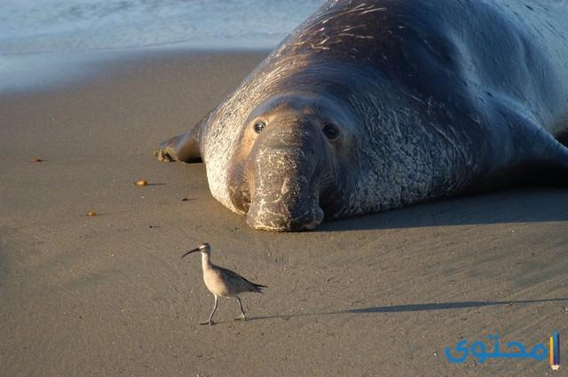 حيوان فيل البحر