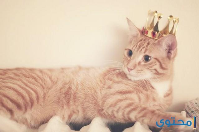 اسماء قطط ملكية