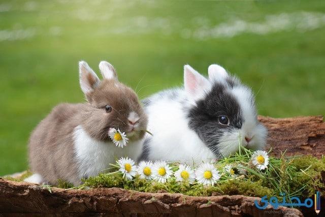 أرنب الجبل البري