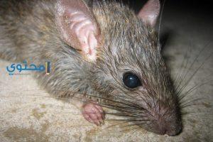تأويل سماع صوت الفأر ورؤيته فى المنام