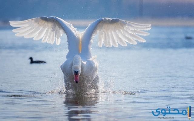 طائر التم الملكي